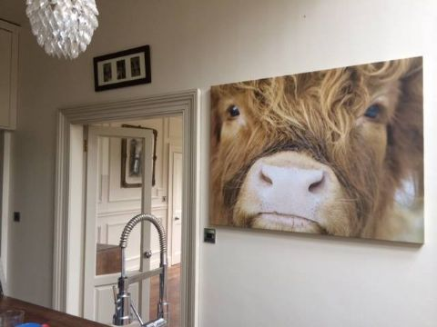 Close Up Cow Highland Cow Premium Canvas Print